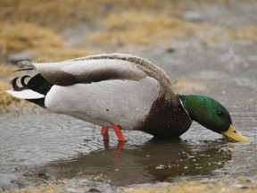Files: A mallard duck sits in a puddle.