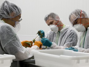 FILE - Students take part in a cannabis trimming and production class at the Freedom Cannabis facilities in Acheson, Alberta, Saturday Sept. 21, 2019.