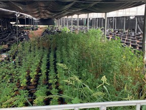 In all, 4,324 marijuana plants ranging from seedlings to mature plants were confiscated from 16 large greenhouses and worksite offices. /