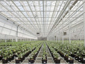Cannabis plants in an Aphria Inc. greenhouse in Leamington, Ont.