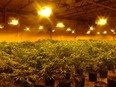 The police seized approximately 3,500 illicit cannabis plants. /
