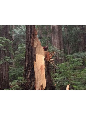 The stump of a giant Douglas fir that snapped off from natural causes.