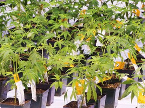 Cannabis seedlings at the new Aurora Cannabis facilty Friday, November 24, 2017 in Montreal. Aurora Cannabis Inc. has struck a friendly deal valued at $1.1 billion to buy CanniMed Therapeutics Inc.