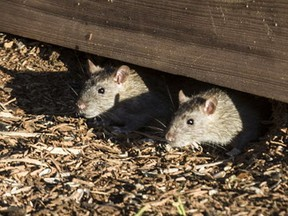 File photo: Rats in The Drive Community garden at 12th and Commercial in Vancouver, B.C., on September 5, 2014.