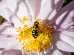 Flower flies can be attracted into gardens by bright, open-faced flowers. Their larvae feed on aphids.