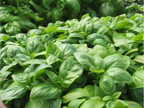 For full enjoyment of basil's pleasing fragrance and for convenience of use, Helen Chesnut locates the summer's basil planters close to the doorway onto the patio.