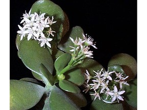 Under ideal conditions very mature jade plants will flower.