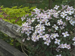 Clematis wilt is most often the result of poorly drained soil or over-watering.