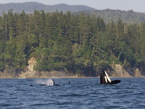 Whales swim off the West Coast Trail. In a normal year, the West Coast Trail Express would carry more than 6,000 hikers out to the trail, but the trail has been closed for 2020 due to the COVID-19 pandemic.