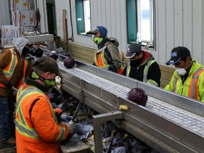 Migrant workers wear masks and practice social distancing to help slow the spread of the coronavirus disease (COVID-19) while trimming red cabbage at Mayfair Farms in Portage la Prairie, Manitoba, Canada April 28, 2020.