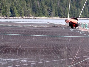 A salmon farmer is pictured at a farm north of B.C.'s Discovery Islands.