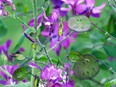 """The botanical name for money plant is Lunaria, derived from the Latin """"luna"""" meaning the moon."""