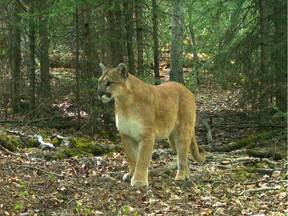 FILE PHOTO - A woman suffered serious injuries after being attacked by a cougar near Agassiz Tuesday morning.