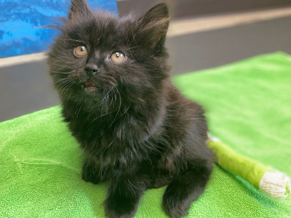 Kelowna SPCA says someone threw Ivy the kitten from moving vehicle