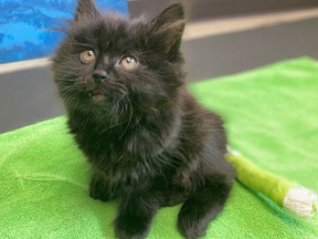 The BC SPCA says Ivy, a seven-month-old kitten, was recently brought to the BC SPCA location in Kelowna after being thrown from a moving vehicle