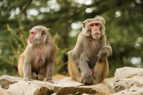 Two macaque monkeys in the middle of a green forest.