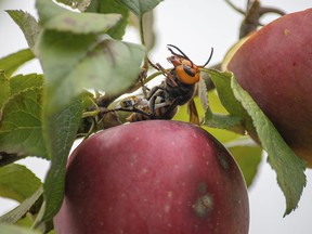 In a file photo provided by the Washington State Department of Agriculture, a live Asian giant hornet with a tracking device affixed to it sits on an apple in a tree near Blaine, Wash.