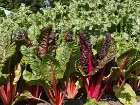 There are many interesting uses for the long, thick stems of Swiss chard.