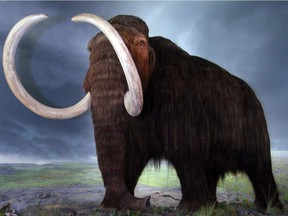 The Wooly Mammoth display at the Royal B.C. Museum in Victoria, B.C.