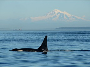 Pacific Northwest orca (killer whale) with Mount Baker in the background near the Strait of Georgia off the coast of Vancouver, British Columbia.