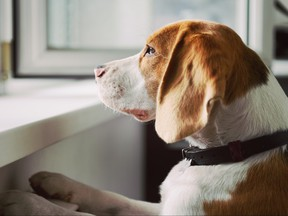 Curious Beagle dog looking out an open window.