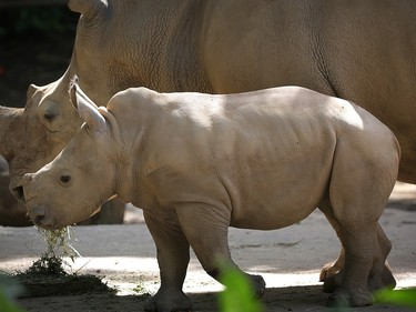 Two-month-old female white rhinoceros Vita stands next to her mother Donsa in their enclosure at the Singapore Zoo, January 12, 2016.