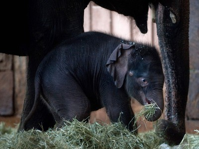 Two-week-old baby elephant Edgar stands next to his mother on January 18, 2016 at the Tierpark Zoo in Berlin, Germany.