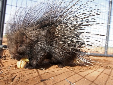 An eight-month-old African crested porcupine eats a potato at Cody Gill's residence on January 21, 2016 in Gardendale, Texas.