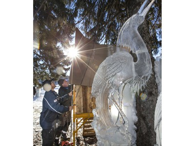 Cardboard is being hung around the ice sculptures as the mid-winter warm weather is reeking havoc on ice sculptures at WinterShines and in particular the Frosted Garden in the Bessborough Gardens area, January 27, 2016.