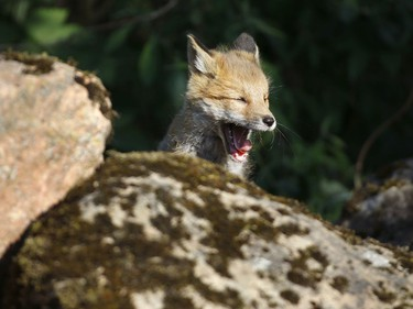 A fox cub yawns while sitting on a pile of boulders, under which is his burrow, in the forest near the village of Rabtsy, Belarus, June 3, 2016.