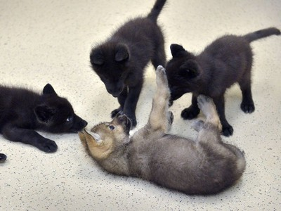 Four five-week-old wolf pups play at Oatland Island Wildlife Centre in Savannah, Georgia in between naps, May 31, 2016.