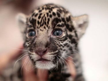 A three-week-old jaguar cub is held at the Reino Animal Zoo in Teotihuacan, Mexico, June 16, 2016.