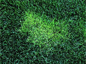 A persistent annual bluegrass patch in the middle of a lawn.
