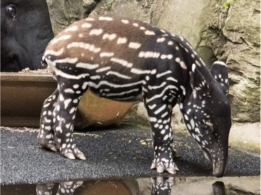 The young two-week-old male Malayan tapir reflects in the water in the zoo in Leipzig, Germany, June 15, 2016.