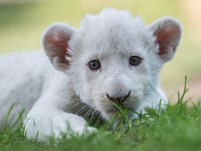 Four-week-old female white lion cub Zahra rests in her enclosure in Magan Zoo, a privately owned animal park in Felsolajos, Hungary, June 30, 2016.