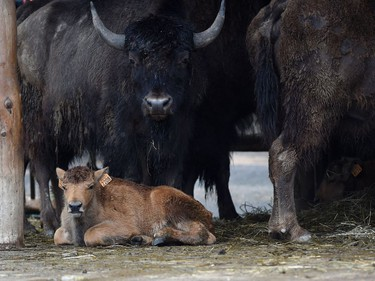 A newborn American bison is pictured on June 2, 2016 at the zoological park of Amneville, France.