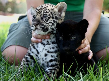 Andrea Czerny, employee of the Attica Zoological Park, holds five-week-old baby jaguars Lucky (L) and Jucky inside the park in Spata, Greece, July 16, 2016.