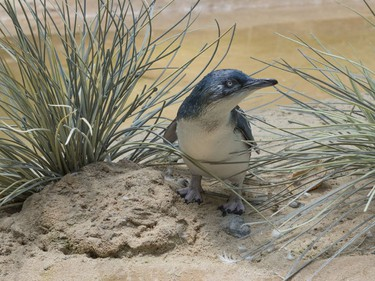 A two-month-old penguin chick is shown in its habitat at the Bronx Zoo in New York, July 25, 2016.