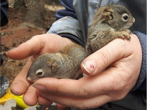 Andrea Wishart has been researching squirrels for the Kluane Squirrel Project in Yukon.