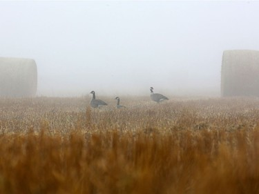 Three Canadian geese are barely visible between two hay bails in the heavy fog Sunday morning on Valley Road in Saskatoon, October 23, 2016.