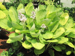 'World Cup' is a large hosta (23 x 43 inches) with an upright form. (photo courtesy Gerry Meyer)