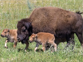 The potential reintroduction of a herd of plains bison is expected to take place later this year.