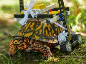 A wild Eastern box turtle was brought into The Maryland Zoo in the summer of 2018 with a broken shell. Garrett Fraess, a student at the University of Saskatchewan's Western College of Veterinary Medicine was doing an externship at the organization and was tasked with getting the critter moving again. To do so, he designed a wheelchair made out of LEGO. Photo: Maryland Zoo