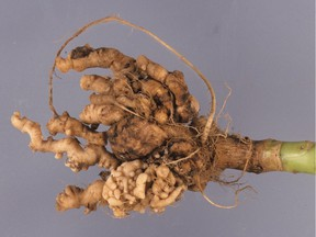 Clubroot infecting broccoli plant. (photo by Gerald Wood bugwood.org)