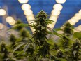 'Absolutely horrible': Cannabis…