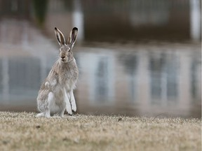 Saskatoon is the second city to join the Urban Wildlife Information Network, based out of Chicago. The network studies wildlife that live in urban settings, like the jack rabbit pictured above.