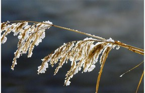 Frost-encrusted weeds in Qu'Appelle Valley in this 2011 file shot.