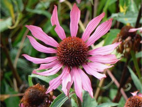 A pink coneflower to add colour to your late summer border.