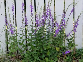 A clump of creeping bellflower, growing without a care in the world in a Saskatoon back alley. (Photo by Erl Svendsen)