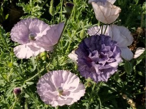 """This 'Amazing Grey' Shirley poppy was Erl Svendsen's """"new"""" plant for 2020."""